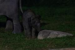 Baby elephant (tik_tok) Tags: singapore singaporezoo nightsafari asia elephant animal night