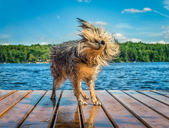 Cottage Dog (Tracy Munson Photography) Tags: belmontlake havelock kawarthalakes kawarthas on ontario canine cottage cottagecountry cottagelife dock dog lake mixedbreed mutt pet petphotography shaggy shakeoff shaking swimming waterdroplets waterdrops wet wetdog