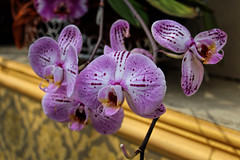 (the last don) Tags: orchids flowers macro mainau germany