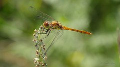 Libelle / Dragonfly (Oerliuschi) Tags: dragonfly natur nature fluginsekt