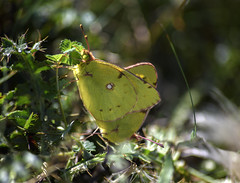 Mating Clouded Yellow (PhilDL) Tags: cloudedyellow butterflies butterfly uk ukbutterflies migrantbutterflies migrantbutterfly britishlepidoptera britishbutterflyconservation britishbutterflies oldwinchesterhill hampshire hampshireuk wildlife