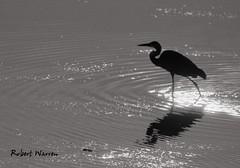 Monsieur Hron chasse... (Argentique)  / Mr. Heron is hunting... (Film) (Pentax_clic) Tags: pentax esii trix tx d76 11 argentique film nb bw aout 2016 robert warren vaudreuil quebec heron oiseau