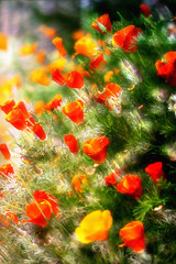 ...has come and gone (Natalia Medd) Tags: summer flower flowers poppies orange green warm dreamy soft focus serene nature garden color colorful bright