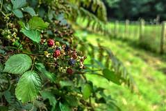 Round Wales Walk 43 - Blackberries (Nikki & Tom) Tags: roundwaleswalk walescoastpath wales ceredigion uk fruit blackberries path track