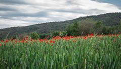 Amapolas (efe Marimon) Tags: canonpowershots120 felixmarimon catalunya lleida lanoguera montsec vilanovademei amapolas primavera