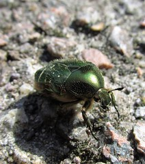 green scarab (cornaboeuf) Tags: scarab entomologie beettle