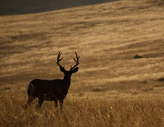 Where the deer and the antelope roam..... (tvdflickr) Tags: muledeer buck deer nationalbisonpreserve montana goldenhour rimlighting wildlife male photobytomdriggers copyright photosbytomdriggers thomasdriggersphotography nikon d750 nikond750 handheld