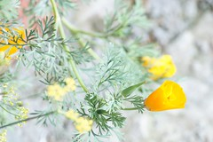 burst of citrus (janaki g) Tags: orangeflower flowers flower citrus