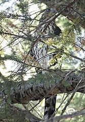 Cooper's Hawk (Harry Lipson) Tags: hawk raptor coopershawk avian birding bird hunter harrylipson tailfeather harrylipsoniii beak