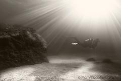 fly undersea. (Opera.Pink - d s g n) Tags: dive scubadive scubalife scuba diver sunrays rays underwater undersea underthesea sand bajoelmar buceo buzos buceando rayosdesol blackandwhite blancoynegro photography photosub fotosub fotografasubmarina subacutico gopro goprohero3blackedition