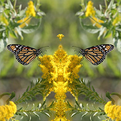 Fit for a King (Doris Burfind) Tags: butterfly insect monarch nature outdoor wildlife mirror symmetry orange yellow goldenrod