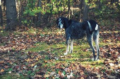 44/52 glum (huckleberryblue) Tags: autumn dog leaves gracie hound week44 bluetickcoonhound 52weeksfordogs