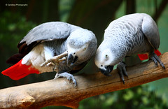 Gossip Mongers (Canon Guy18) Tags: bird canon grey singapore africangreyparrot parrots eos450d rebelxsi africanparrots