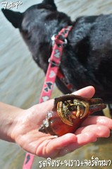 Hermit Crab size comparing with Black Dog