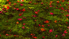 Zen garden (watakkk) Tags: autumn red color green colors garden moss maple sony zen  sendai matsushima    japanisegarden  flickraward blinkagain nex5n sel50f18