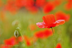 Lest we forget (DeniseJC) Tags: war worldwari poppies tribute remembranceday remembrance worldwar flanders lestweforget poppyday 11november johnmccrae armistace eleventhhour eleventhday eleventhmonth