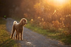 The light of my life (Perry McKenna) Tags: dog sun colour walking golden shadows trail spoo cooper 2012 week45 standardpoodle rimlight mylight spcr 522012 52weeksthe2012edition weekofnovember4