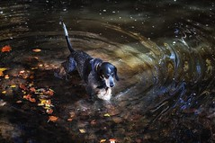 45/52 spotlight (huckleberryblue) Tags: autumn dog fall water leaves swimming gracie hiking hound week45 bluetickcoonhound 52weeksfordogs