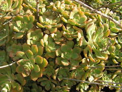 Aeonium mascaense (mapa-73) Tags: grancanaria succulent crassulaceae aeonium macaronesia mascaense jardínbotánicovierayclavijo