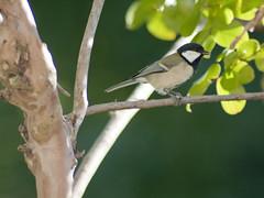 Japanese Tit (Polotaro) Tags: bird nature pen olympus 自然 zuiko ep1 鳥 ペン 野鳥 オリンパス シジュウカラ 四十雀 ズイコー fzuiko300mmf45
