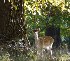 Young fallow deer (yvonnepay615) Tags: uk lumix norfolk deer panasonic g1 eastanglia holkham 100300mm