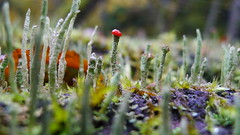 Cladonia spp - Bialowieza National Park