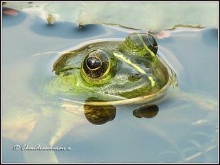 2604 - Indian  pond frog