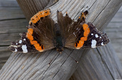 Vulcain (Vanessa atalanta) (Le No) Tags: butterfly papillon 31 hautegaronne midipyrnes vanessaatalanta vulcain lpidoptre stlon lauragais collectionnerlevivantautrement