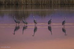Wading, Waiting, and Watching - Bosque del Apache (Jim Frazee) Tags: ngc npc bosquedelapache sandhillcranes gruscanadensis coth supershot thegalaxy bej specanimal coth5