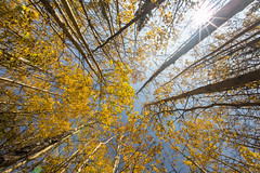 Autumn color of Banff 班夫秋色 (Sharleen Chao) Tags: travel autumn sky sun canada tree nature horizontal canon landscape rockies nopeople banff birchwood sunflare banffnationalpark 秋天 加拿大 秋色 1635mm 洛磯山脈 秋季 lowangleshot 班夫國家公園 旅遊攝影 goldenleave canoneos5dmarkiii canon5dmarkiii 樺樹