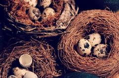 nests (Jen MacNeill) Tags: bird broken nature nest egg collection eggs spotted trio nests gypsymarestudios jennifermacneilltraylor