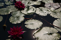 NYC -4077 (Jacobo Zanella) Tags: newyorkcity nyc nuevayork usa septiembre travel summer park city urban ny canon5d 2012 jacobozanella black green leaves red flower floating pond reflection bright sparkles water harsh contrast hard lotus jz76