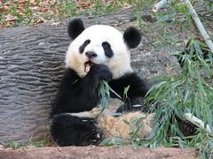 Stuffie Stuffing! (Pandaholic) Tags: panda po zooatlanta pandas lunlun