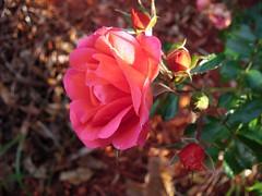 **Une rose pour toi...** (Impatience_1) Tags: flower nature fleur rose m happybirthday impatience mfcc coth joyeuxanniversaire bonnefête supershot bej fantasticnature abigfave saveearth anawesomeshot flickrdiamond citrit wonderfulworldofflowers 100commentgroup lovely~lovelyphoto coth5 blinkagain ruby10 ruby5 rosedechezclo