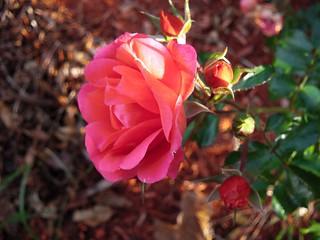 **Une rose pour toi...**