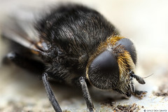 a fine furry jacket (Insect~O~Saurus) Tags: portrait macro nature scotland naturallight handheld merodonequestris mpe65mm tonemap zerene focusstacked canoneos5dmarkii july2012 recordr:count=1 recordr:determiner=iainlawrie recordr:species=merodonequestris