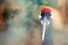 Potrait (feroze kaliyadan) Tags: bird bahrain alareenwildlifepark ferozekaliyadan canon650d