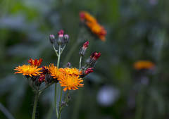 Orange Delight (Hans van der Boom) Tags: orange flower dof buitengewoon