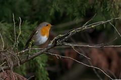 Rougegorge familier (Erithacus rubecula) (Le No) Tags: bird erithacusrubecula 31 oiseau europeanrobin hautegaronne midipyrnes rougegorgefamilier stlon lauragais passriformes muscicapids novembre2012