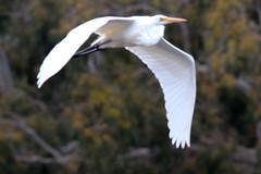 Ardea modesta (Eastern Great Egret)