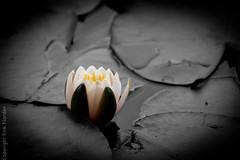 Extension tube test-05156 (Erik Norder) Tags: newzealand christchurch white black flower macro waterlily sony nz alpha partial monavale 550 partialbw extensiontubes sal70200g sonyalpha550 eriknorder eriknorderphotography
