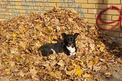 sunbathing (Dina Rad) Tags: autumn dog fall golden blackdog belgrade straydog beograd fallenleaves novibeograd