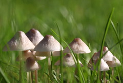 group of mushrooms (bugman11) Tags: macro nature mushroom grass canon mushrooms flora nederland thenetherlands fungi 1001nights autofocus platinumheartaward 100mm28lmacro 1001nightsmagiccity mygearandme mygearandmepremium mygearandmebronze mygearandmesilver mygearandmegold mygearandmeplatinum mygearandmediamond allnaturesparadise flickrstruereflection1