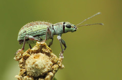 Small Green Leaf  Weevil (karthik Nature photography) Tags: color macro nature animals closeup forest canon garden photography wildlife beetle insects bugs weevil macrophotography sigma105mm animalworld raynoxdcr250 leafweevil insectphotography greenleafweevil macrolife beautifulbugs highqualityanimals macrolifeinindia
