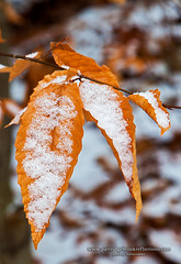 Beech Dusting (Jeff Newcomer) Tags: winter snow leaf newhampshire beech spofford