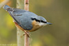 Nuthatch (mick revell) Tags: freedomtosoarlevel1birdphotosonly freedomtosoarlevel2birdphotosonly freedomtosoarlevel2birdsonly