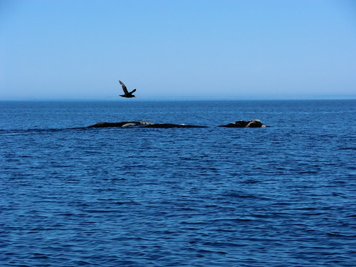 Great Fulmar and Southern Right Whales in Golfo Nuevo