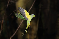 Perruche  Collier, Rose-ringed Parakeet (Zed The Dragon) Tags: wild bird speed jaune collier french geotagged effects photography photo flickr minolta photos bokeh sony main images vert full perruche frame parakeet getty fullframe alpha antony animaux parc postproduction franais sal zed oiseaux francais sceaux lightroom effets parcdesceaux 24x36 roseringed psittacula a850 sonyalpha krameri hpexif parcsceaux dslra850 alpha850 zedthedragon minoltaapo80200hs