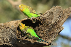Oh this is killing me! (aussiegypsy_visiting NT Top End) Tags: wild playing tree male green bird nature yellow female outdoors back scenery branch play nest native stripes wildlife pair australian parrot australia cock breeding budgerigar trunk outback stripey aussie breed mate hen inland mates submission nesting courting roleplaying birdlife liedown melopsittacusundulatus playacting mateship barklytablelands lorraineharris shellparrot