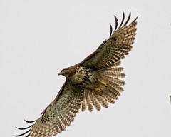 Take off (Team Hymas) Tags: washington hawk ridgefieldwildliferefuge teamhymas